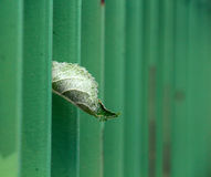 Green metal fence. narrow dept of field focuc. Apple leaf peering trough green metal fence looking for sun. narrow dept of field focuc royalty free stock photography