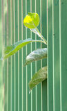 Green metal fence. narrow dept of field focuc. Apple leaves peering trought green metal fence looking for sun. narrow dept of field focuc royalty free stock photos