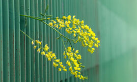 Green metal fence. narrow dept of field focuc. Yellow flower peering from green metal fence. narrow dept of field focus stock photo