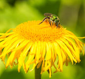 Green Metallic Bee Royalty Free Stock Photography