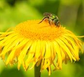 Green Metallic Bee Royalty Free Stock Photography