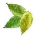Green Metallic Elm Leaf. Isolated metallic green elm leaves Stock Images