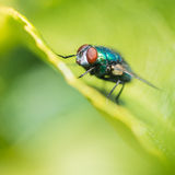 Green Metallic Fly Stock Images