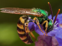 Green metallic sweat bee dives headfirst into purple flower for stock photo