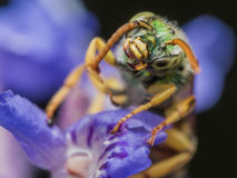 Green metallic sweat bee on purple flower tugs on antenna Royalty Free Stock Photo