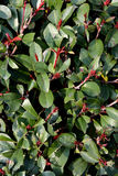 Green michelia bush. Detail as background, present as featured shape and color Royalty Free Stock Photo
