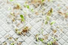 Green Micro Greens Growing in a Container, macro. Copy space royalty free stock photography