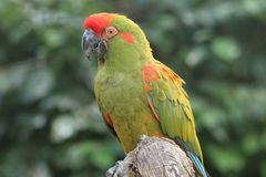 Green military macaw Royalty Free Stock Photos