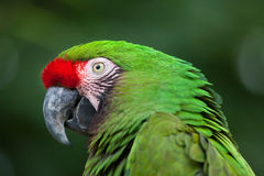 Green military macaw Ara militaris stock photography