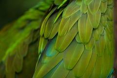 Green military macaw Ara militaris Stock Photography