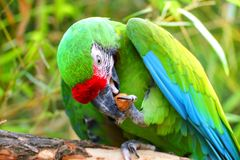 Green military macaw eating nuts royalty free stock photos
