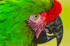 Green Military Macaw Parrot Feathers. Green Military Macaw Parrot Ara militaris Green Red Feathers Beak stock photo