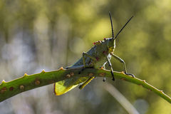 Green Milkweed Locust Stock Photography