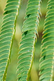 Green Mimosa Leaves Stock Images
