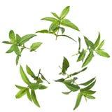 Green mint Stock Image