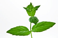 Green mint. Fresh green mint isolated on white Royalty Free Stock Photography