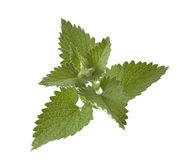 Green mint. Isolated on white background stock images