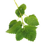 Green mint Stock Photography