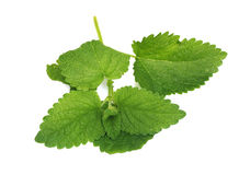 Green mint Royalty Free Stock Photos