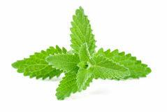 Green Mint. Leaf close up stock photography