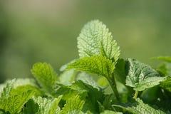 Green mint background Stock Photos