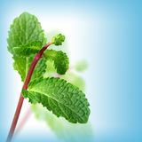 Green mint on blue background Royalty Free Stock Photo