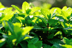 Green mint crops. In growth at garden Royalty Free Stock Image