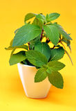 Green mint flower on a yellow background Stock Photos