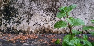 Green mint in front of old molded wall. Mint is favourite ingredients use in many foods and beverages Royalty Free Stock Photo