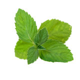 Green Mint isolated Stock Image