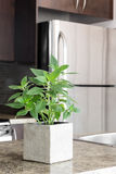 Green mint on kitchen countertop Stock Photography