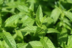 Green mint leaf Stock Photos