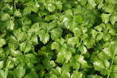 Green mint leaf Stock Photos