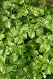 Green mint leaf Stock Photo