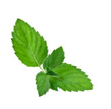 Green mint Leaf. Fresh green mint Leaf over white background royalty free stock images