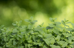Green mint Royalty Free Stock Photo