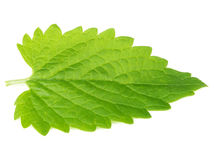 Green mint leave on white background Royalty Free Stock Image