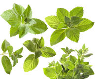 Green mint leaves Royalty Free Stock Photography