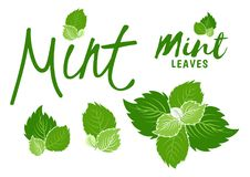 Green mint leaves royalty free illustration