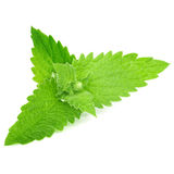 Green mint leaves on white background Stock Photography