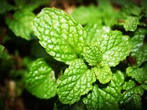 Green Mint Photo Royalty Free Stock Image