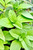 Green mint plant Royalty Free Stock Image