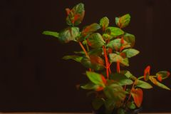Green Mint Plant Grow Background. Mint in red neon light on blacj background. Mint bush. Grow mint at home stock image