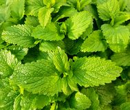Fresh green mint leaves. Background with mint leaves. royalty free stock photography