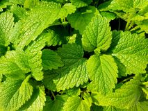 Fresh green mint leaves. Background with mint leaves. royalty free stock images