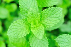 Green mint plants growing Royalty Free Stock Photography