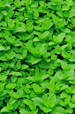 Green mint plants in growth Stock Photography