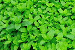 Green mint plants in growth Stock Image