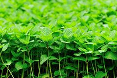 Green mint plants in growth Royalty Free Stock Images