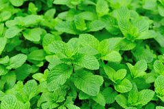 Green mint plants in growth Royalty Free Stock Photography